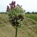 Allium vineale - vinogradski luk